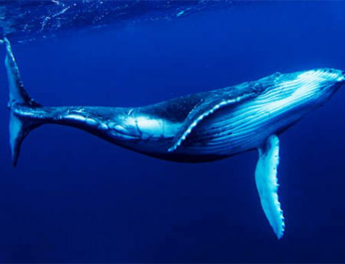 Humpback Whales Early Arrival to Maui