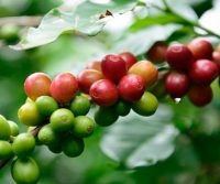 Maui grown coffee
