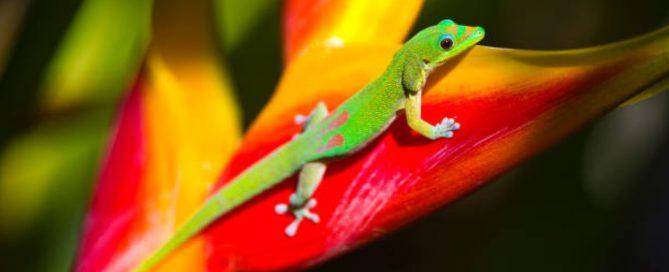 gecko Maui
